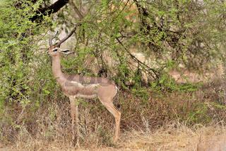 Giraffengazelle im Tsavo Ost Nationalpark