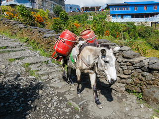 Donkey carrying two gas cylinders