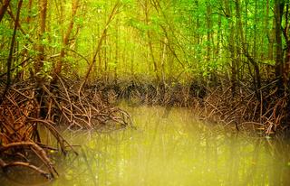 Mangroves in dark water at low tide