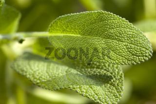 Makroaufnahme Blätter vom Oregano