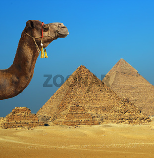 camel in front of pyramid in Egypt