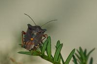 Rotbeinige Baumwanze - Pentatoma rufipes