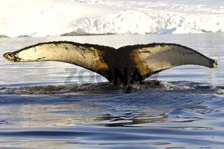 humpback whale tail dived into the waters near the Antarctic Peninsula