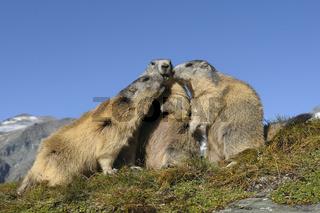 Murmeltiere, Marmota marmota, Österreich