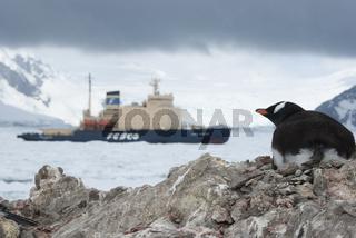 Guest in Antarctica, Gentoo penguin looking at ice-breaker.