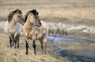 Konik - Hengst und Stute stehen an einem Flussufer - (Waldtarpan-Rueckzuechtung) / Heck Horse stallion and mare standing at a riverbank - (Tarpan-breeding back) / Equus ferus caballus - Equus ferus ferus