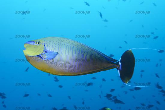 Foto Naso Vlamingii Masken Nasendoktorfisch Malediven Bignose Or