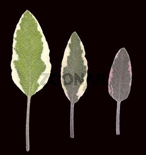 Salbei, Salvia, officinalis,