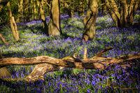 Toter Baum inmitten von Blauglöckchen