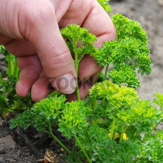 Petersilie ernten- parsley harvesting 02