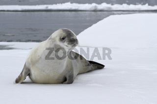 crabeater seal on an ice floe in the Antarctic waters