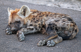 Junge Tüpfelhyäne liegt auf der Straße, Kruger Nationalpark, Südafrica; young hyena lying on the street, south africa, wildlife, Crocuta crocuta