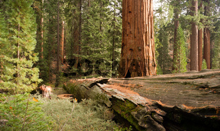 Fallen Forest Giant Sequoia Tree National Park California