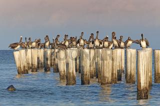 Braune Pelikane auf ihren Aussichtspfählen,USA