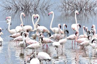 Rosaflamingos und Zwergflamingos am Bogoria See