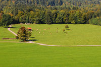 Viehweide bei Bad Toelz