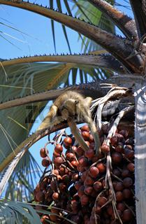 Steppenpavian auf einer Palme, Gelber Pavian, Lower Zambezi Nationalpark, Sambia, Zambia; papio cynocephalus; savanna baboon