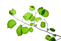 Thin-twig-with-rounded-green-leaves-isolated-on-white