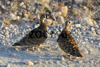 a female and a male chestnut-bellied sandgrouse