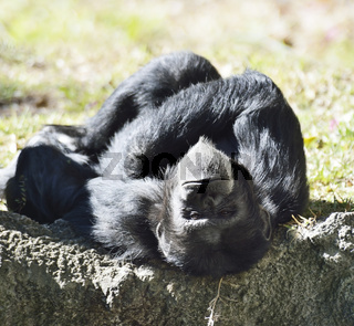 Black Chimpanzee
