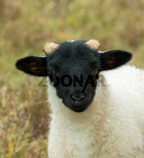Close-up of lamb of breed Black-faced Sheep