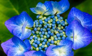 Blüte der blauen Hortensie