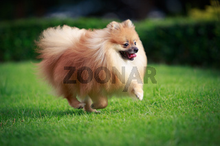 Pomeranian dog running on the lawn