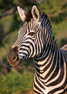 Steppenzebra im Marakele Nationalpark, Südafrika, South Africa, Plains Zebra, Perissodactyla, Equus quagga