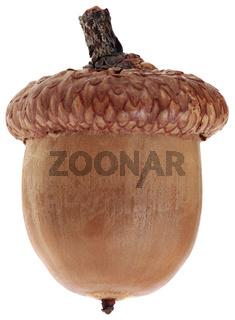 One Ripe Dry Acorn Cutout