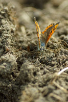 Kleiner Feuerfalter - Lycaena phlaeas