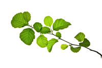 Twig-with-green-leaves-of-alder-isolated-on-white