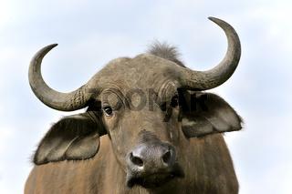 liebes Gesicht eines wilden Büffels