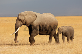 African elephant (Loxodonta africana) cow with young calf