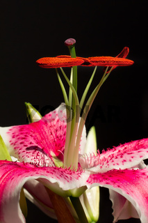 Stargazer Lily Upright