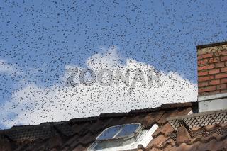 Honigbienen-Schwarm