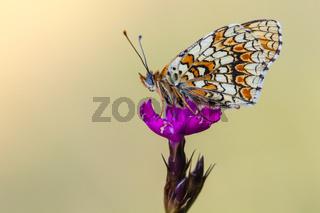 Flockenblumen-Scheckenfalter