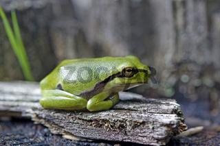 Europaeischer Laubfrosch, Hyla arborea