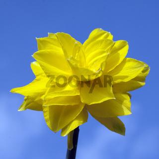 Narzisse, Narcissus,