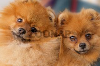 spitz-dogs