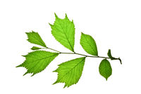 Twig-with-green-toothed-leaves-of-japanese-elm-isolated-on-white