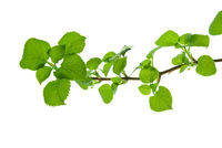 Branch-with-round-toothed-leaves-with-clear-viewed-veins-isolated-on-white