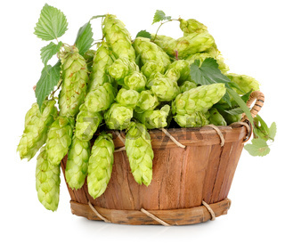 Green hops in a wooden basket