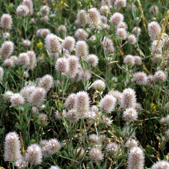 Hasen-Klee; Trifolium arvense;