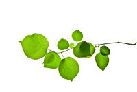 Twig-with-green-leaves-isolated-on-white-background