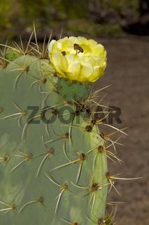 Bienen auf Kaktusblüte
