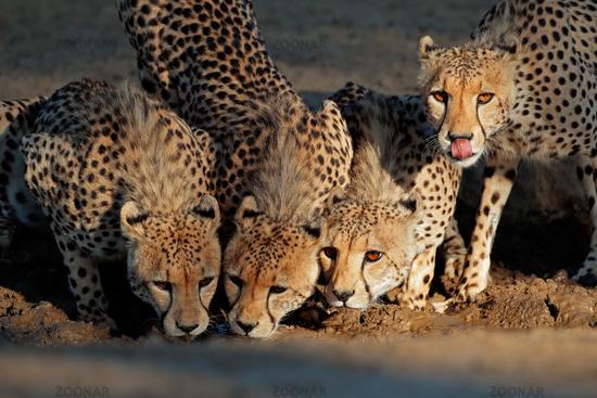 Alert cheetahs (Acinonyx jubatus) drinking water