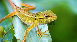 Lizard on the grass. Thailand, Phuket