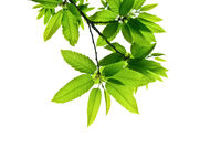 Branches-with-green-toothed-leaves-isolated-on-white-shot-from-below-upwards