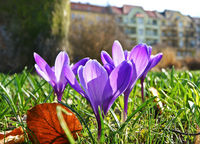Crocuses-shooting-from-ground-level-with-shallow-depth-of-field-buildings-of-the-city-at-the-background