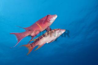 Mexikanische Schweinslippfische, Mexiko